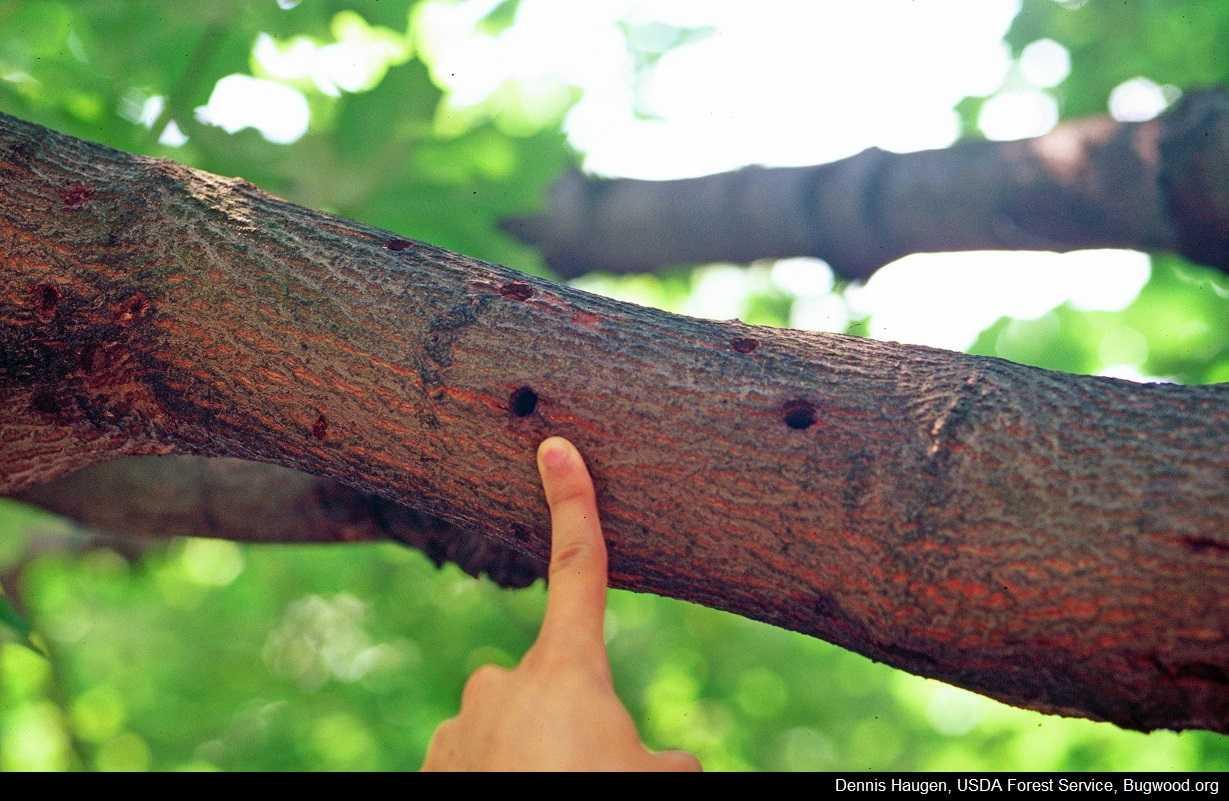 IowaTreePests com   Asian Longhorned Beetle Symptoms