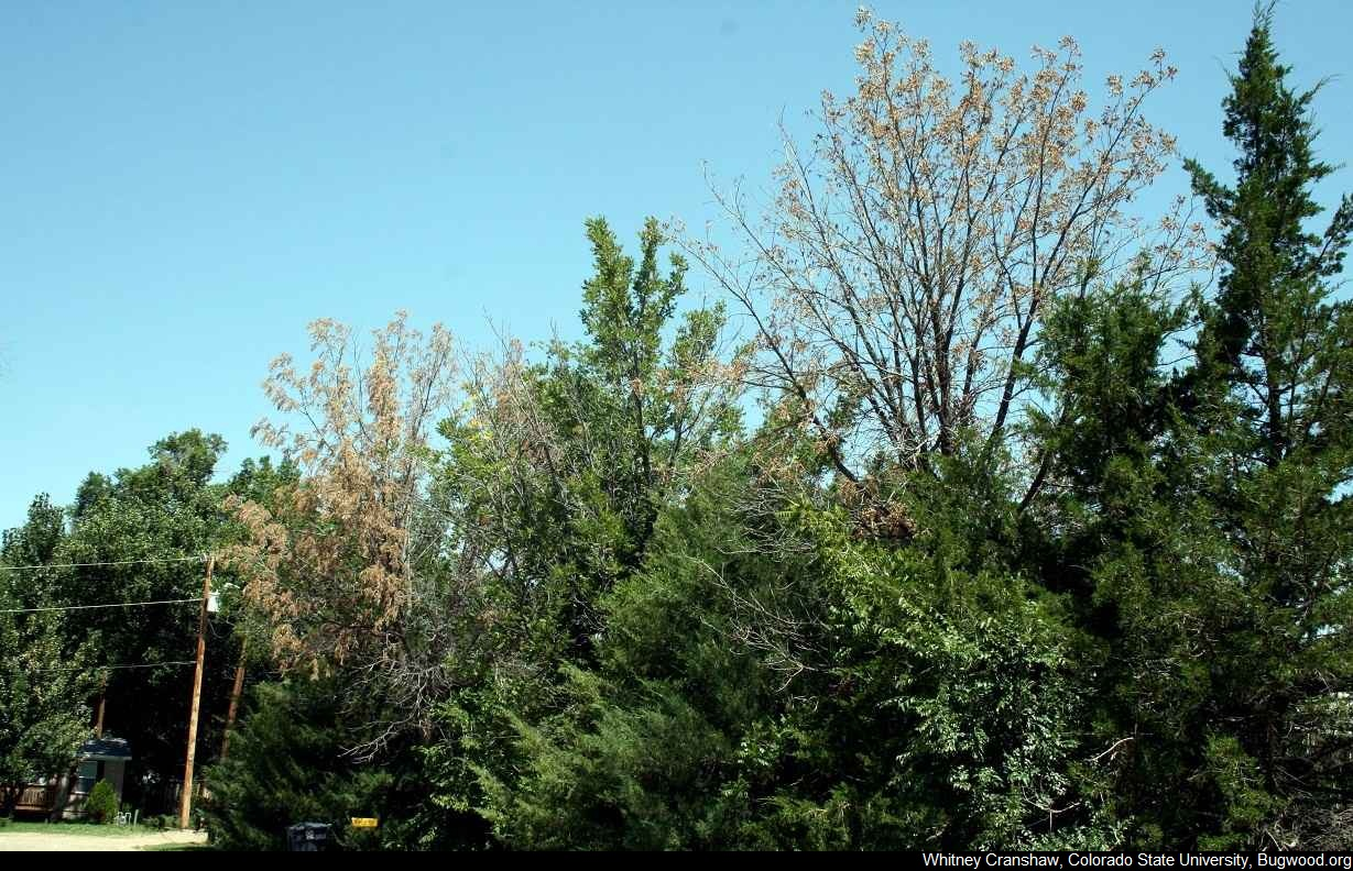 IowaTreePests com | Thousand Cankers Disease of Black Walnut